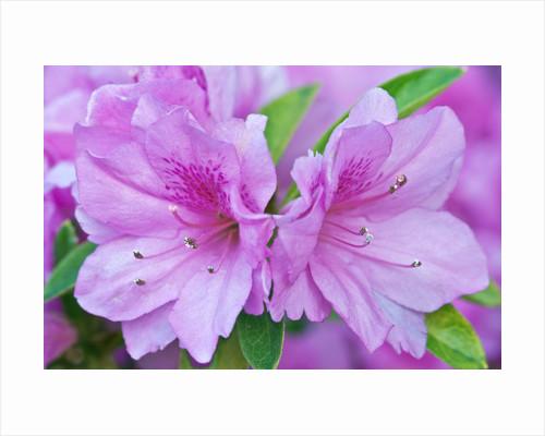 Azalea Flower by Corbis