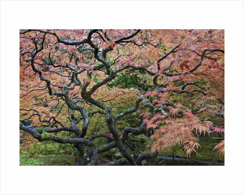Japanese Maple by Corbis