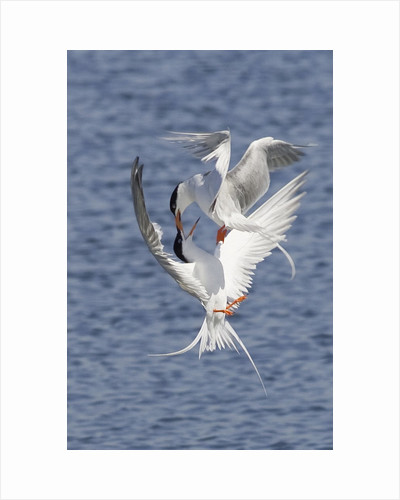 Forster's Terns fight in midair by Corbis