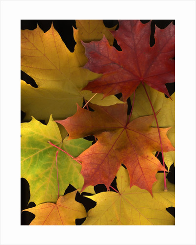 Autumn maple leaves by Corbis