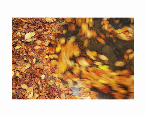 Forest brook with beech leaves in autumn by Corbis