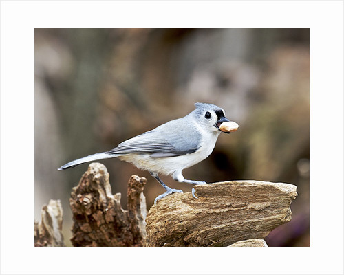 Tufted-Titmouse by Corbis