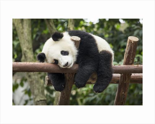 Giant Panda Cub, Chengdu, China by Corbis