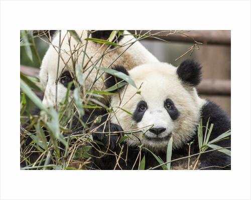 Giant Pandas, Chengdu, China by Corbis