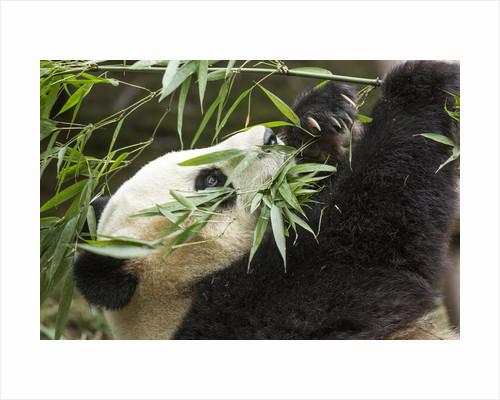Giant Panda, Chengdu, China by Corbis