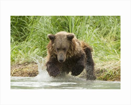 Brown bear jumping by Corbis