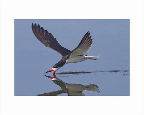 Black Skimmer skimming by Corbis