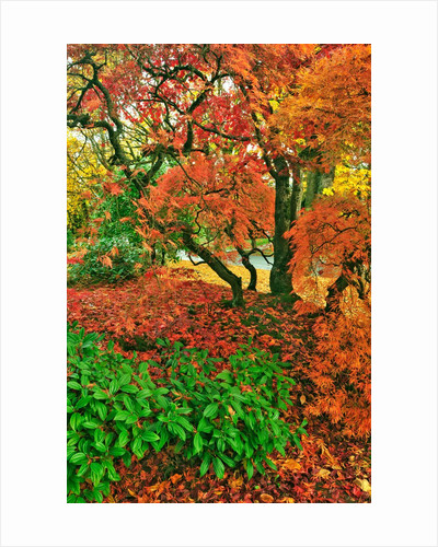 Lace leaf Japanese maple and red maple trees in garden in Portland, Oregon by Corbis