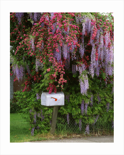 Wisteria blooms & Hawthorn tree blossoms by Corbis