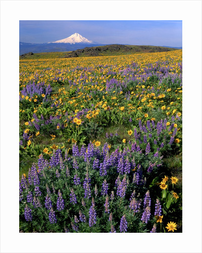 Mt. Hood with wildflowers by Corbis