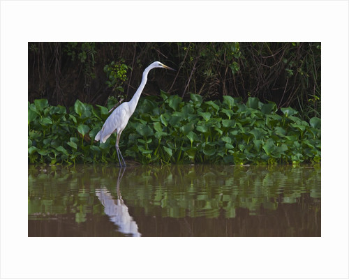 A great egret (Ardea alba) hunts along the riverbank by Corbis