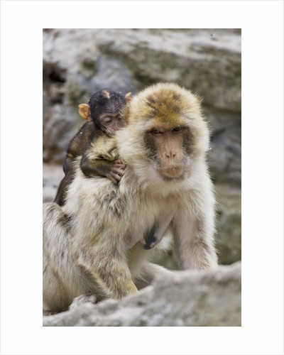 A barbary macaque baby on the back of the mother animal by Corbis