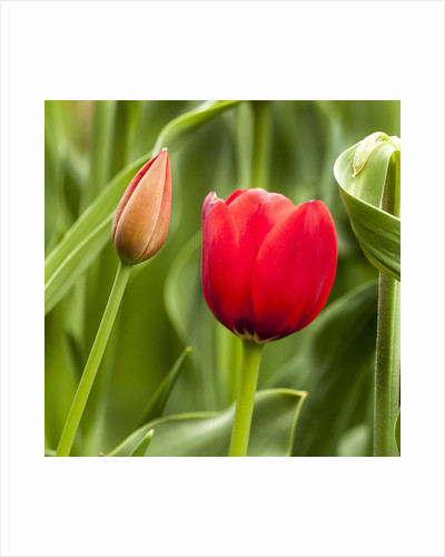 Red Tulip and tulip bud by Corbis
