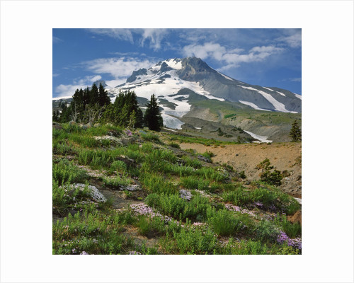 Phlox wildflowers & Mt. Hood by Corbis