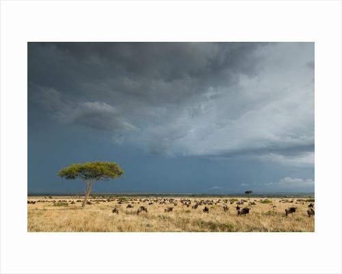 Wildebeest grazing on Mara plains by Corbis