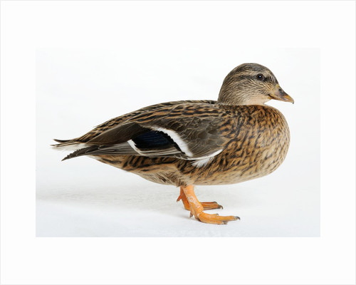 Silver Appleyard Duck by Corbis