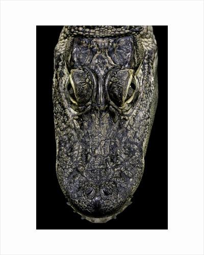 Alligator mississippiensis (american alligator) - snout by Corbis