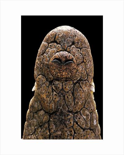 Crocodylus niloticus (Nile crocodile) - snout by Corbis