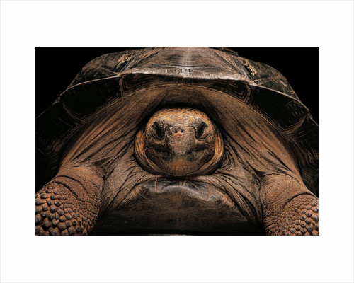 Chelonoidis nigra (Charles Island giant tortoise) by Corbis