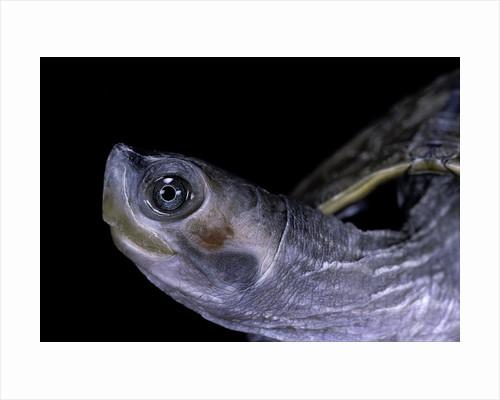 Kachuga smithii (brown roofed turtle) by Corbis
