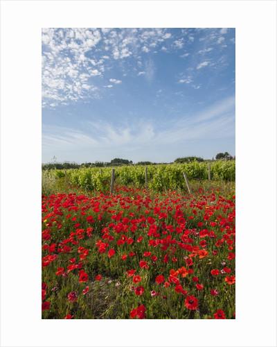 Vineyards near Ettore e Infersa Salt works area by Corbis