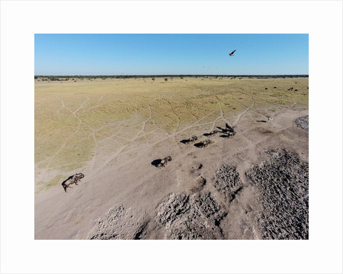 Aerial View of Wildebeest, Khama Rhino Reserve by Corbis