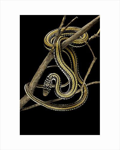 Xenochrophis vittatus (striped water snake) by Corbis