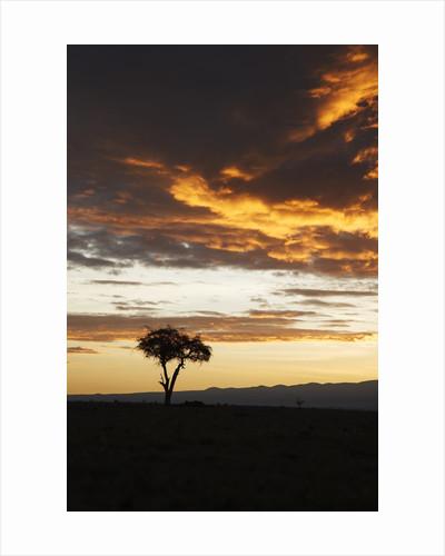 Acacia tree silhouette at dawn, Kenya by Corbis