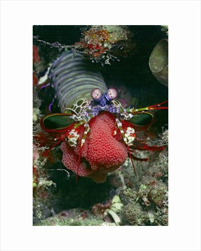Peacock Mantis Shrimp full of eggs by Corbis