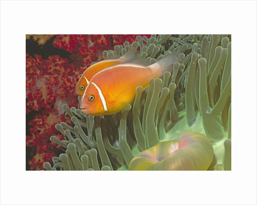 Pink Anemonefish in Magnificant Sea Anemone by Corbis