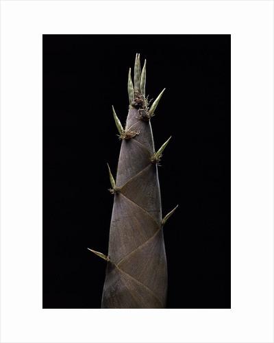 Phyllostachys nigra (black bamboo) - shoot by Corbis