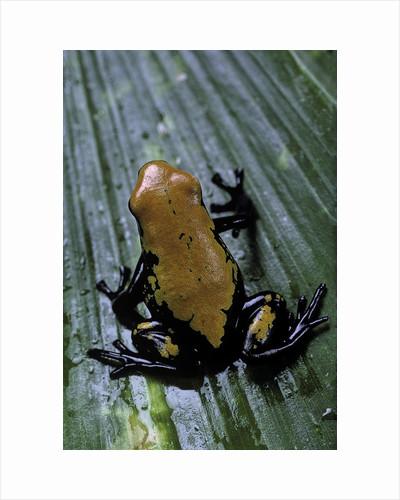 Adelphobates galactonotus (splash-backed poison frog) by Corbis