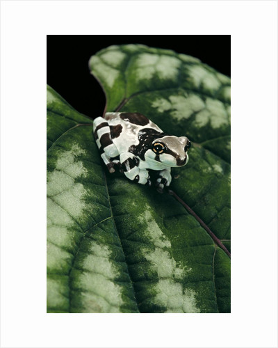 Phrynohyas resinifictrix (Amazon milk frog) - young by Corbis