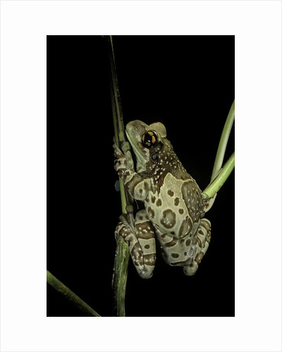 Phrynohyas resinifictrix (Amazon milk frog) by Corbis