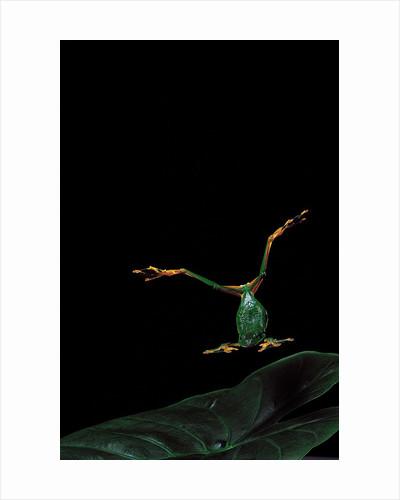 Rhacophorus reinwardtii (green flying frog) - flying by Corbis