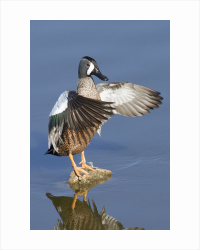 Blue-Winged Teal drake flapping it's wings by Corbis