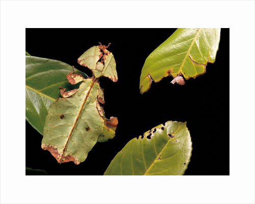 Phyllium giganteum (giant malaysian leaf insect, walking leaf) by Corbis