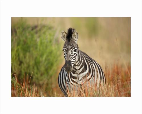 Zebra by Corbis