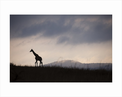 Giraffe at dawn by Corbis