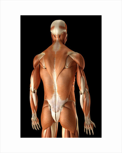 Rear-view of the muscles of the upper body by Corbis