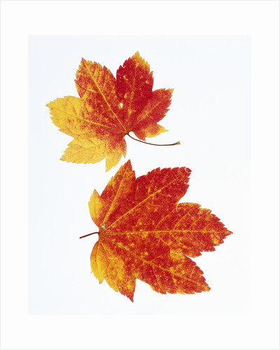 Maple Leaves in Autumn Color by Corbis