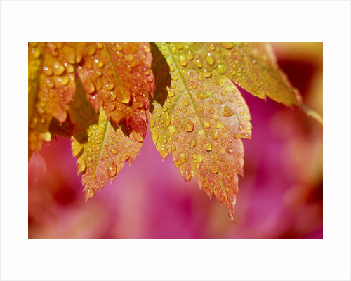 Dew Drops Covering Autumn Leaves by Corbis