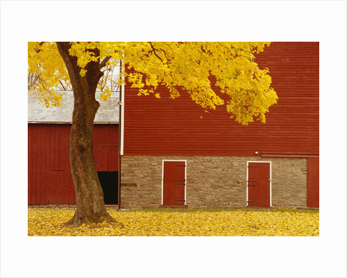 Autumn Tree by Red Barn by Corbis