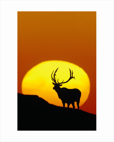 Bull Elk Outlined by Sun by Corbis