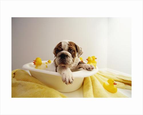 Bulldog Puppy in Miniature Bathtub by Corbis