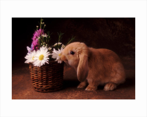Bunny Smelling Basket of Daisies by Corbis