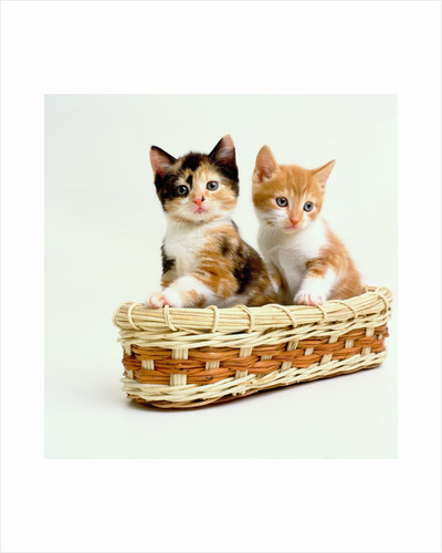 Kittens Sitting in Basket by Corbis