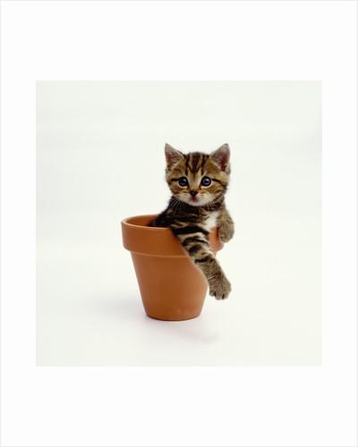 Kitten Sitting in Plant Pot by Corbis