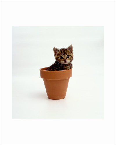 Kitten in Plant Pot by Corbis