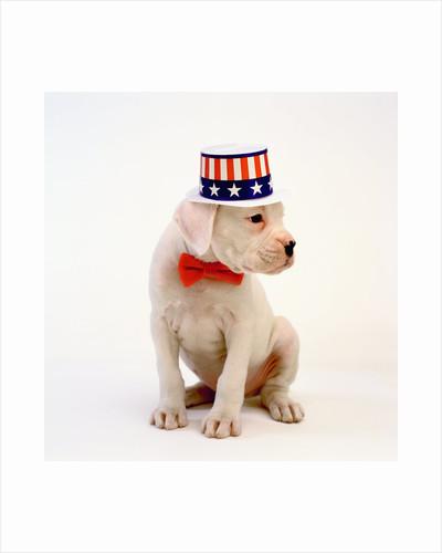 Boxer Puppy Wearing Patriotic Hat by Corbis